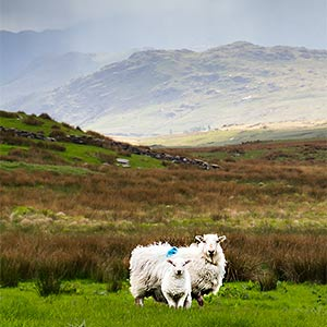 sheep near snowdon